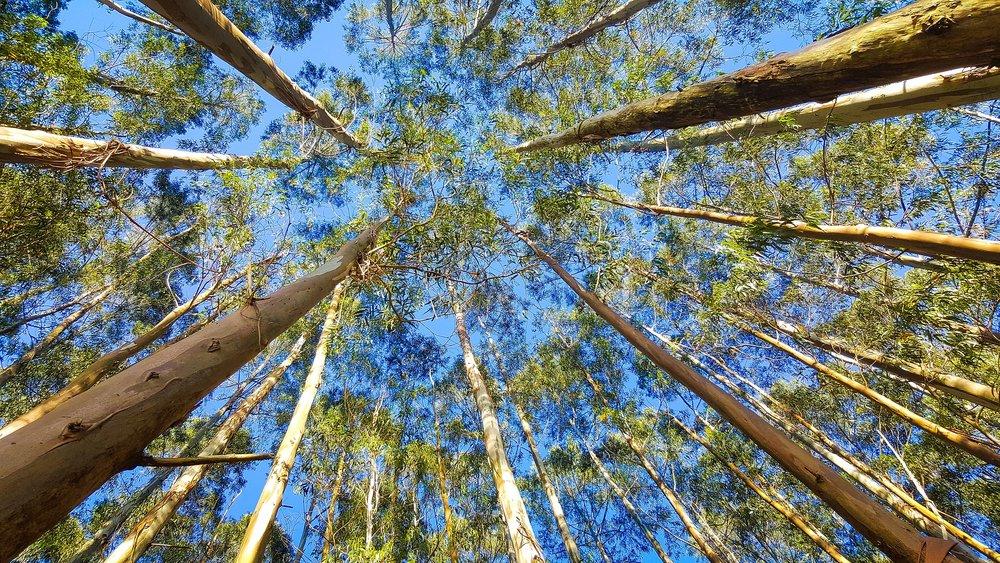 eucalyptus-2734066_1920.jpg