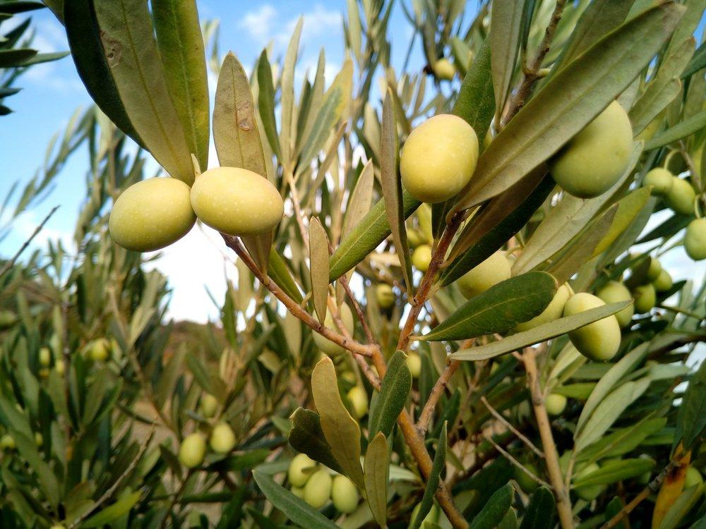 olive-trees-1126320_1920.jpg