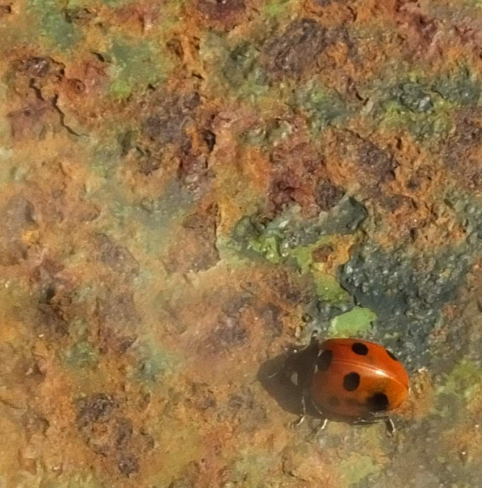 Ladybird _950.JPG