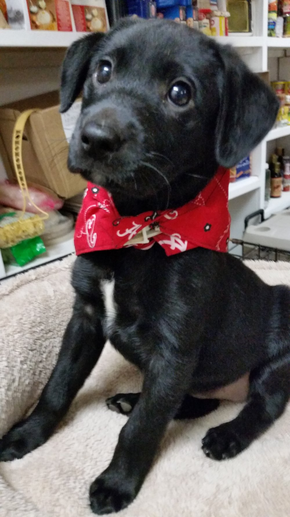 Brenda is a 6 week old beauty awaiting her forever home! She is extremely smart, loving and affectionate. Brenda will receive two sets of puppy vaccines, dewormed, Bordetella, rabies (if reaches 16 weeks while with us) and microchipped.