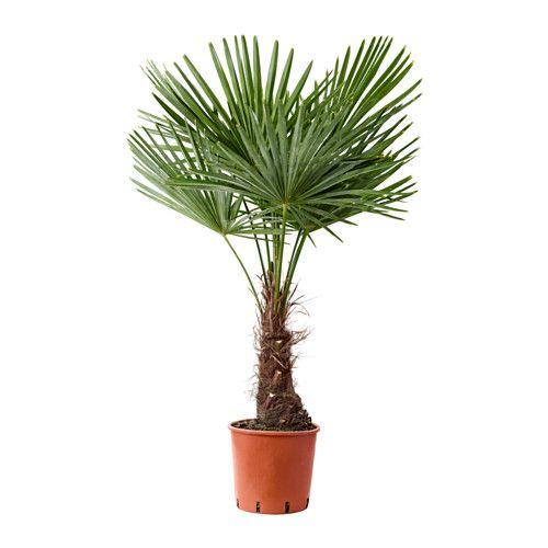 7. Trachycarpus 'Fortunei'