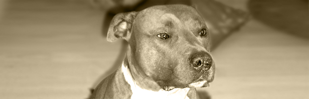 Sunny American Staffordshire Terrier Am Staff