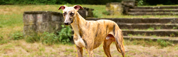 Orfie Whippet