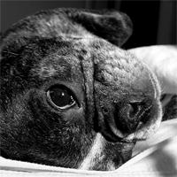 Französische Bulldogge Lennox