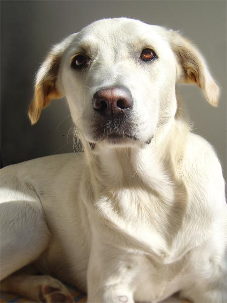 Labrador - Golden Retriever Mix Vita