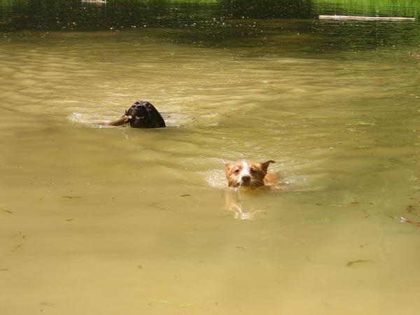 Apportieren im Wasser mit Labi Paul
