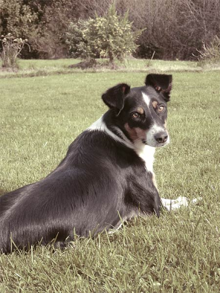 Irischer Border Collie