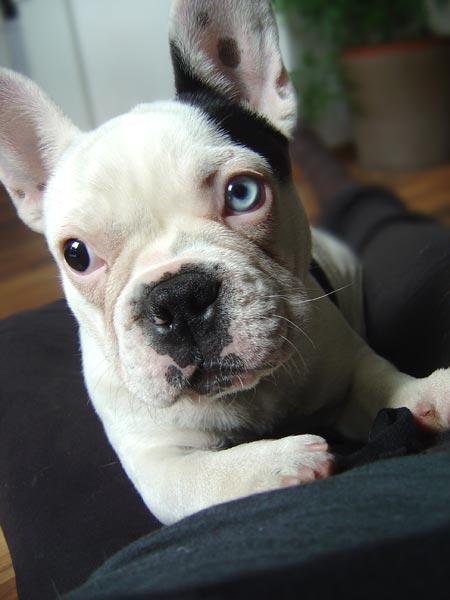 Französische Bulldogge Hazel