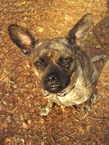 French Bulldog - Russisch. Toy Terrier Mix Coco