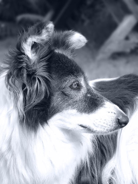 Irischer Farm Collie in Rente