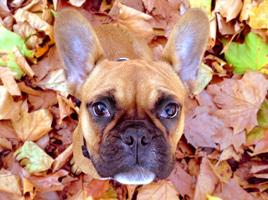 Französische Bulldogge Otto