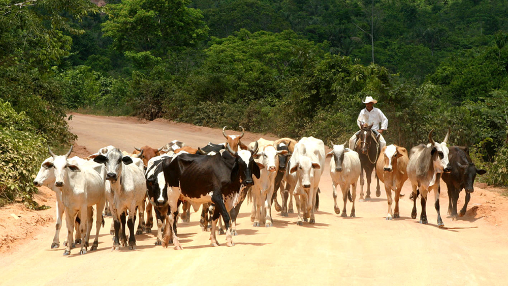 cattle in the road mato grosso.jpg