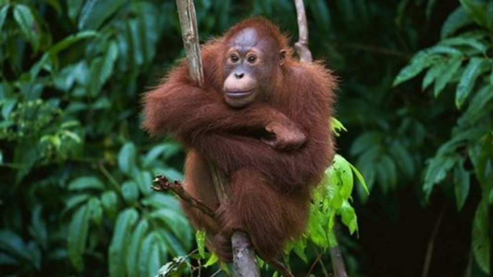 Indonesia_orangutan.jpg
