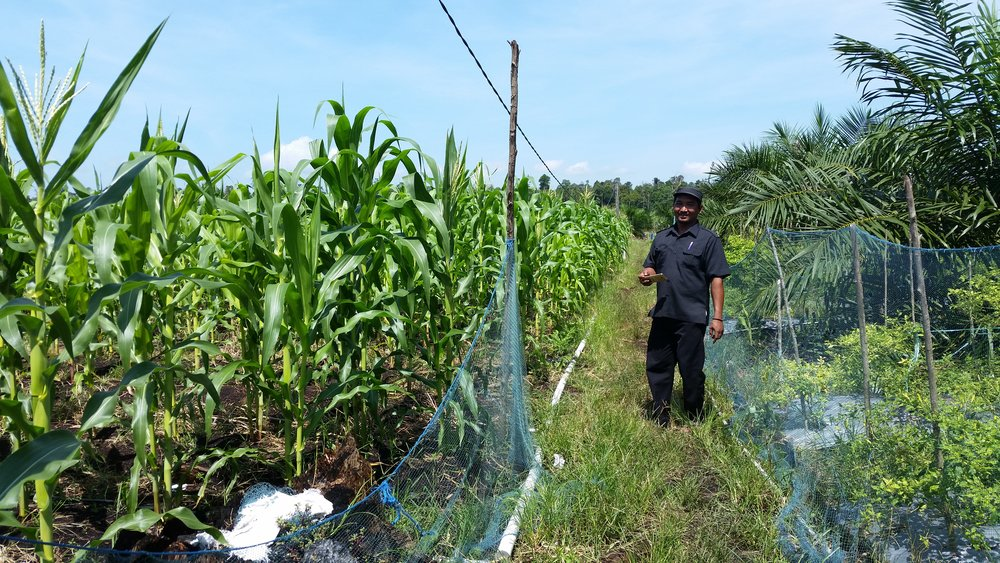 Indigenous farmers have small agricultural plots for corn and chili peppers in addition to their oil palm commodity crops.