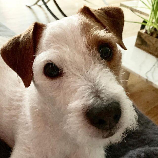 T, have you been naughty or nice? #bad #bad #boys #sogood #rascal #terrier #scruff #dog #usa #newyork #merrychristmas #happy #holiday #dogsofinstagram #🎄 #🐶 #💂🏼♀️