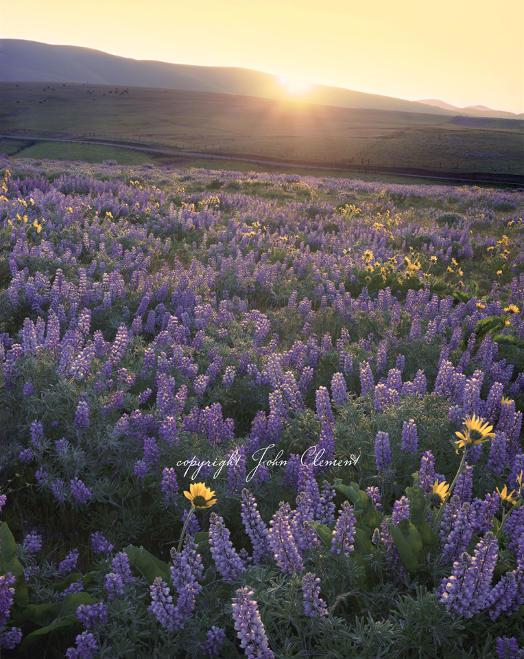 Rattlesnake Mountain Sunset with Lupine