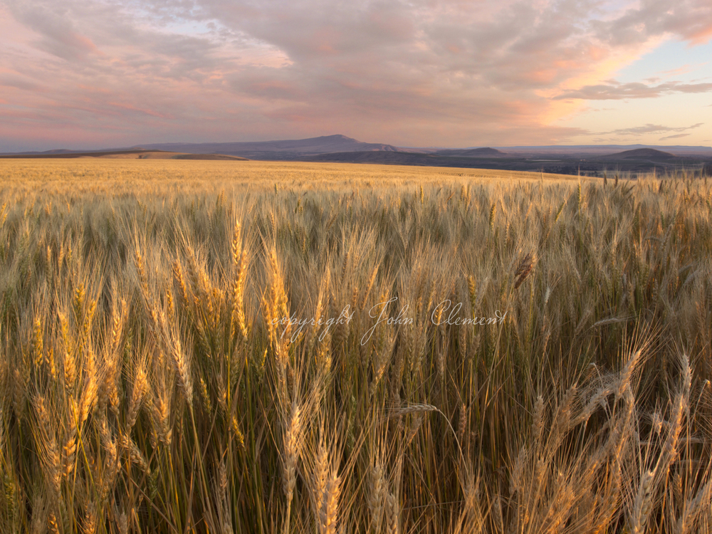 Wheat and Rattlesnake Mountain