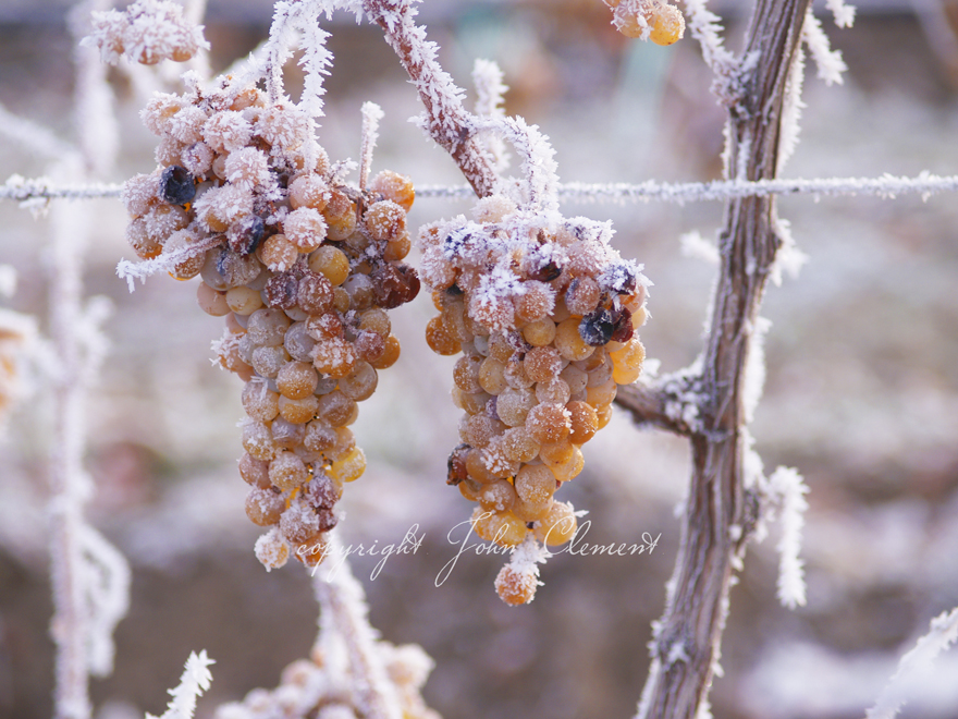 Frosted Chardonnay