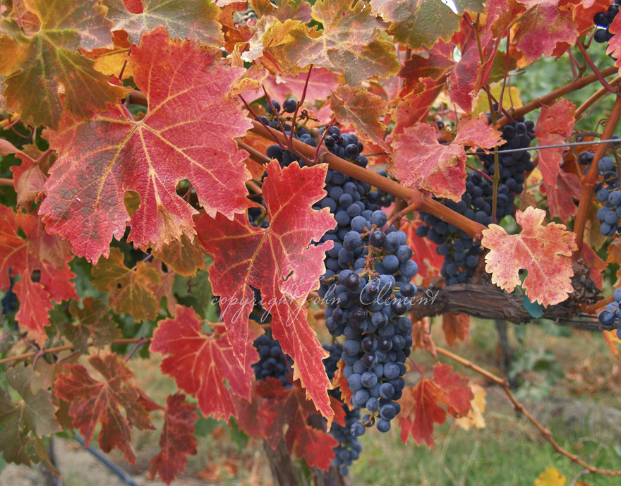 Lemberger Vine