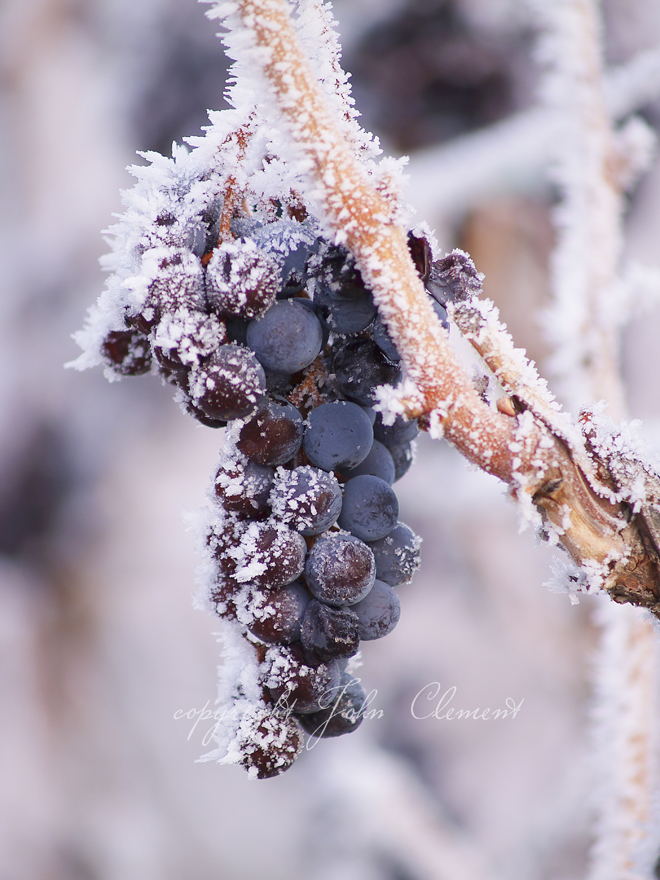 Frosted Merlot