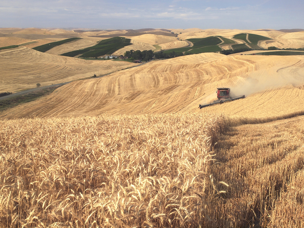 Wheat Harvest III