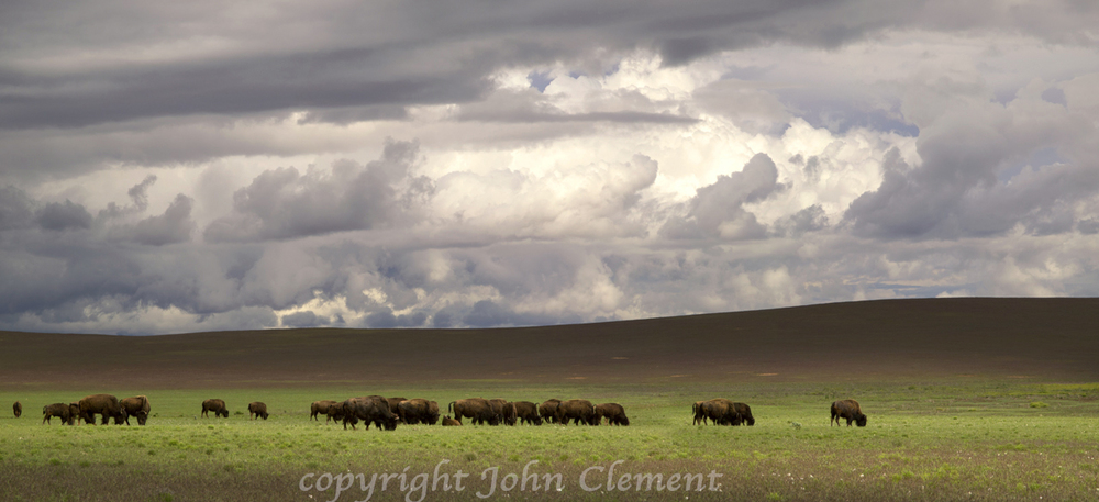 Bison Grazing II