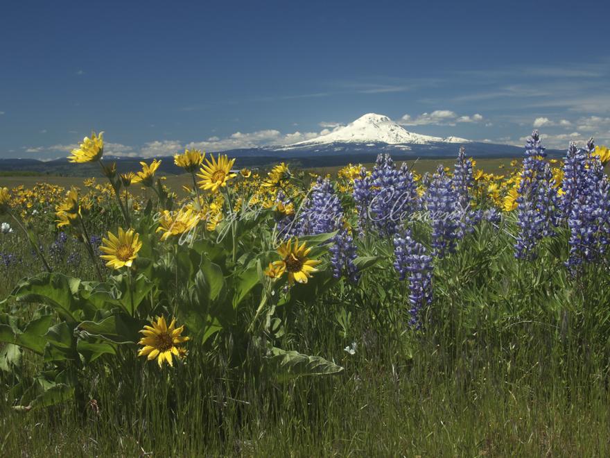 Mt Adams Spring