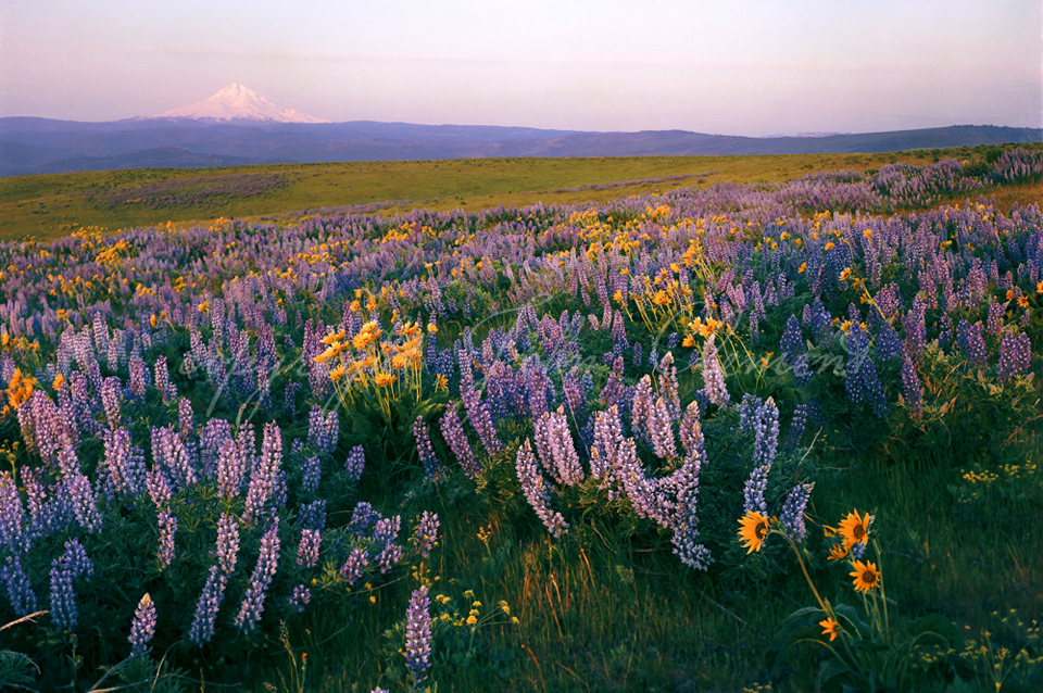 Mt Hood and Lupine