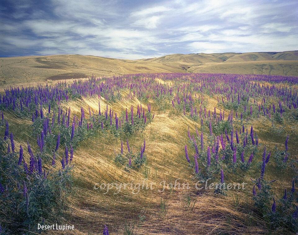 Desert Lupine-10-10.jpg