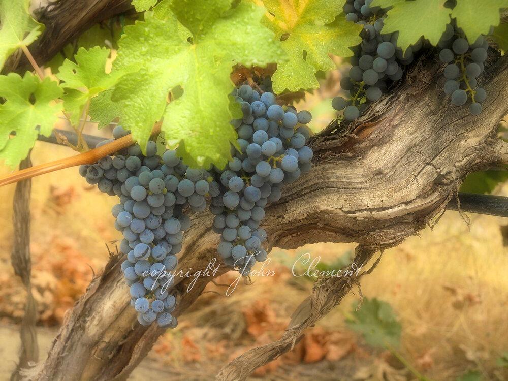 Old Vines