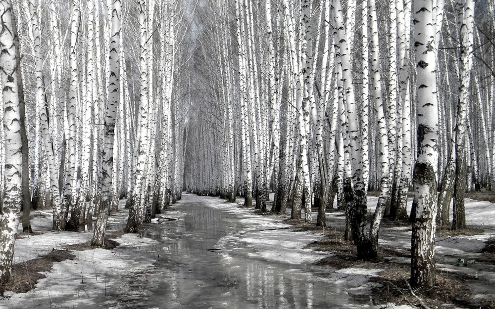 black-and-white-birch-tree-desktop-background.jpg