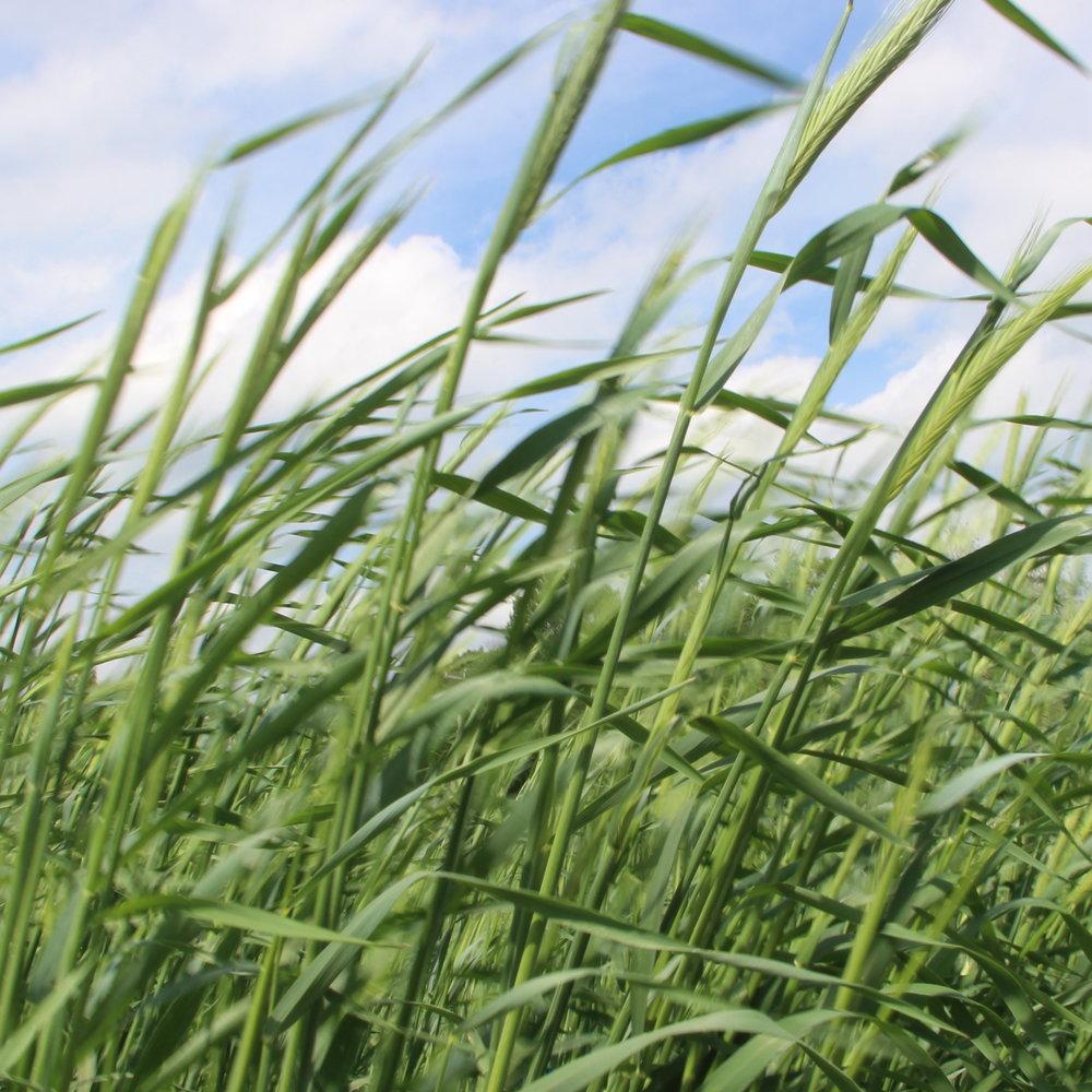 wheat_thumbnail.JPG
