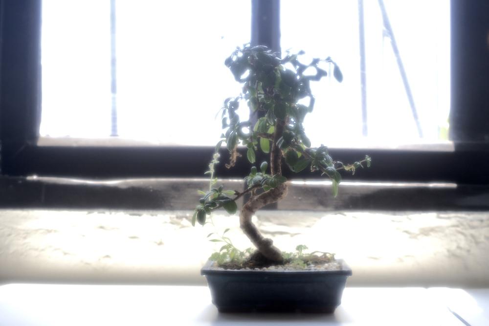tea-tree-banzai.jpg