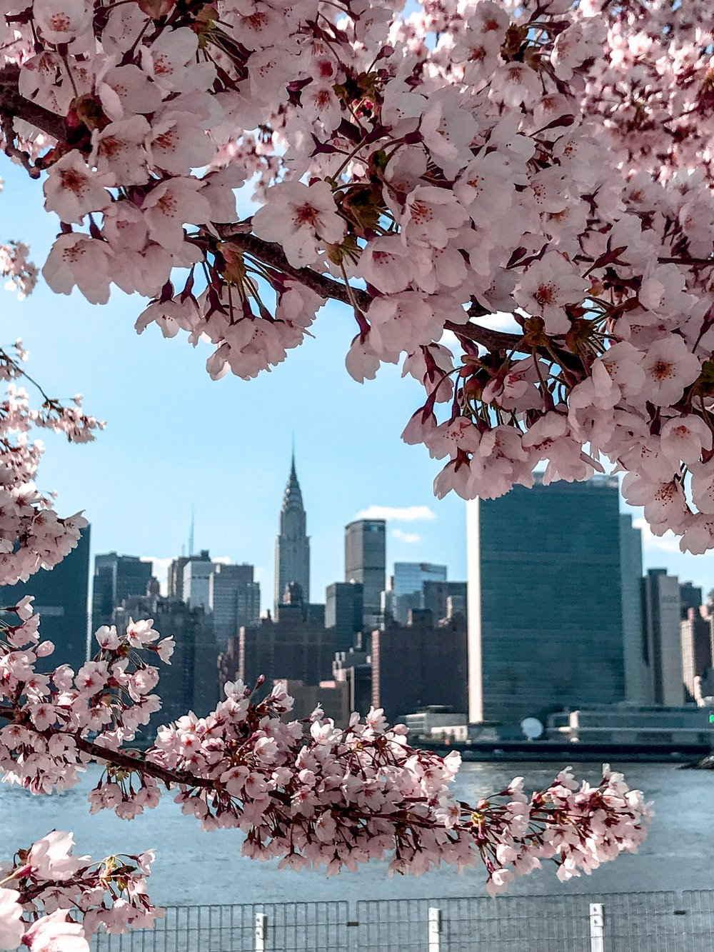 New York Cherry Blossom