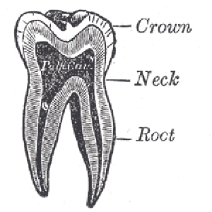 If your tooth falls out or is knocked out, make sure you never touch its root portion. This can damage the tissue and reduce the chances of it being saved.