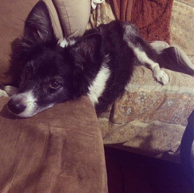 How to sit on two couches at once. @lifedogtraining #bordercollie #bordercolliesofinstagram #funnydog #dogsofatl #dogsofatlanta #dogsofinstagram