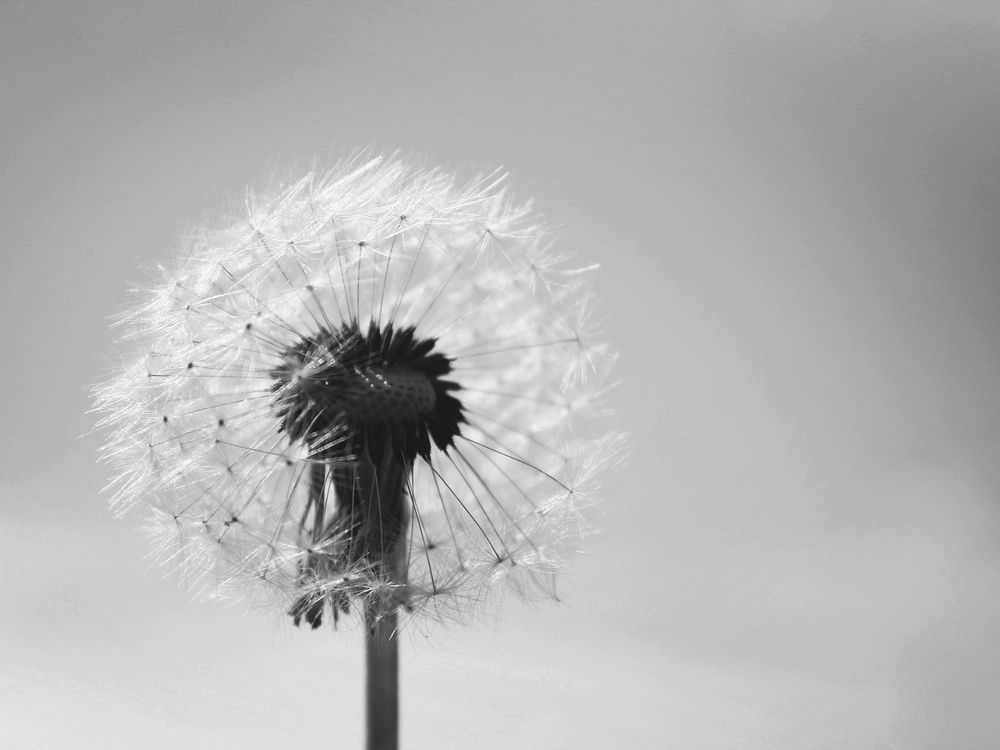 dandelion-761759.jpg