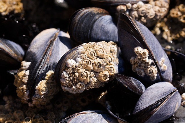 Barnacles permanently attach themselves to hard structures, often to the detriment of the structure itself.