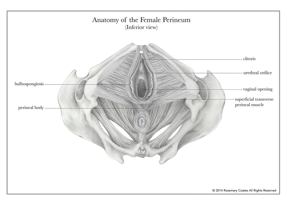 Anatomy Of The Female Perineum Rosemary Coates