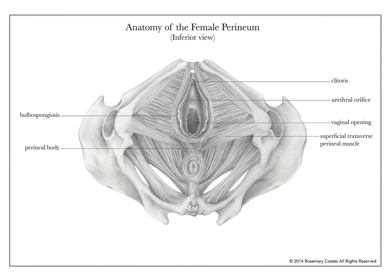 anatomy of the female perineum — rosemary coates