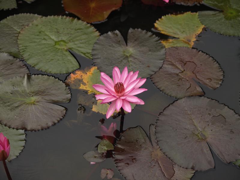 the lily pond.jpg