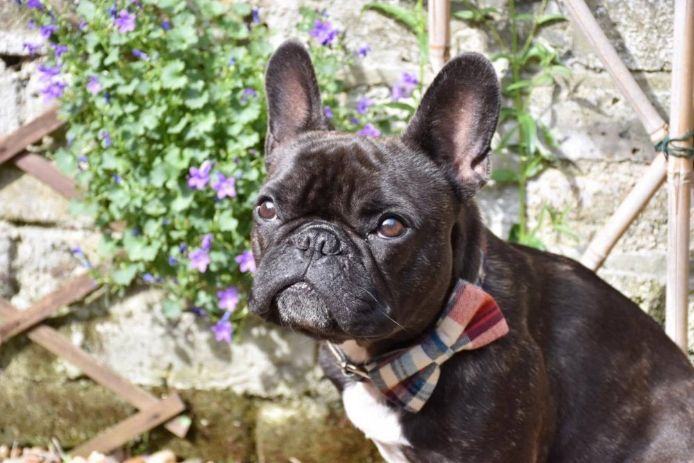 Henry  - LONDONHenry is a very handsome Frenchie from London who can be seen wearing his Marple Bow Tie and looking very stylish!  Henry loves nothing more than a good sunbathe!  Henry also enjoys chasing squirrels, ducks and having a good wrestle with his friends- he is very strong and matcho!