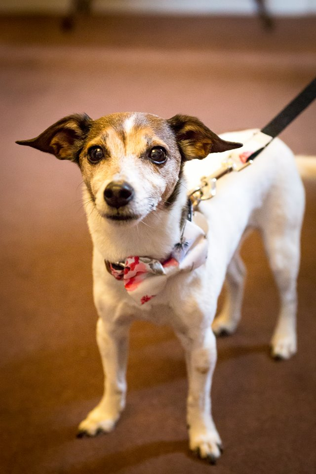 Pebbles  -  HEREFORDSHIREPebbles is a Jack Russell crossed with a Chihuahua who lives in Herefordshire with her sister Poppy. They like to think of themselves as quite superior and are both spoilt rotten!  In the image, Pebbles can be seen wearing the Disley Bow Tie and Lead set at her parents wedding!Pebbles dislikes being called a 'doggy', having her personal space invaded and the word 'NO!'Their humans live as slaves to Poppy and Pebbles at their home and wait on their every whim!   Lucky pooches!
