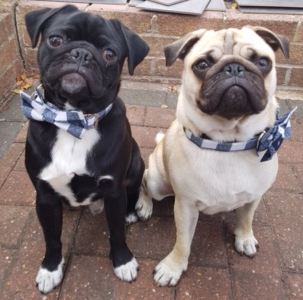 Doug & Bear - ROTHERHAMDoug and Bear are non biological brothers who live with their humans in Rotherham.Doug and Bear are both pugs and absolutely LOVE all food! They also love being centre of attention and getting lots of kisses and cuddles from their humans!Their dislike is the rain- they hate getting wet and refuse to go outside in bad weather! Far too cold!Doug and Bear can be seen modelling Anglesey Bow Ties.