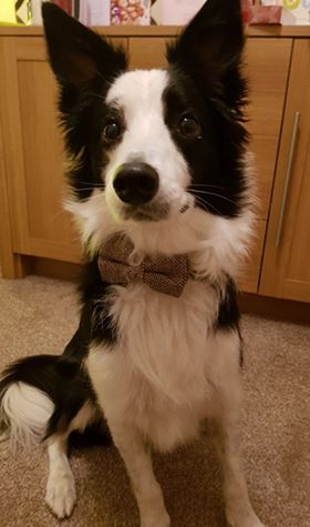 Dexter -  HULLDexter is a Collie who lives in Hull with his humans.  He can be seen here modelling his Beaufort Tweed Bow Tie Collar. He likes long walks, balls, belly rubs and eating cheese!  Dexter also is a fan of trying to catch bubbles in the park and chasing Fifi the cat (poor Fifi!)He dislikes sneezes, clapping and the postman!