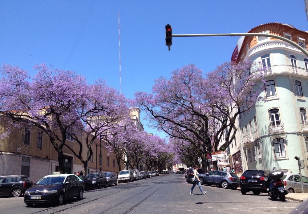 Jacarandas in full bloom - the arrival of Spring in Lisbon!