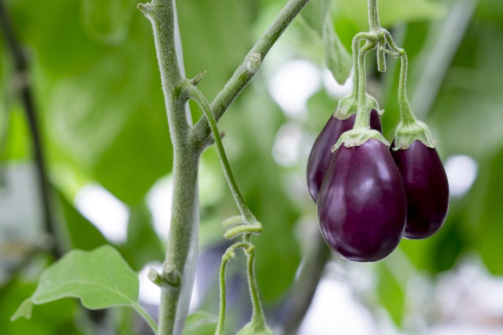 Marta-Hewson-industrial-photography-greenhouse-eggplants-Kitestring-Vineland-Research.jpg