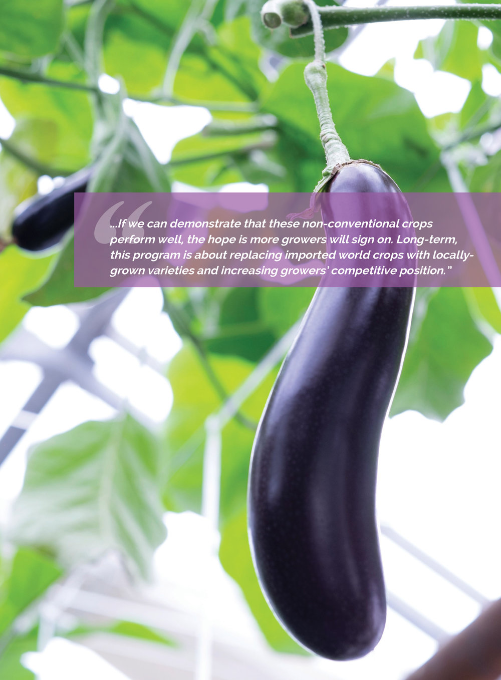 Marta-Hewson-Advertising-eggplants-Innovation-Report-Vineland-Research.jpg