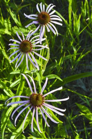 Triad Cone Flower Redux