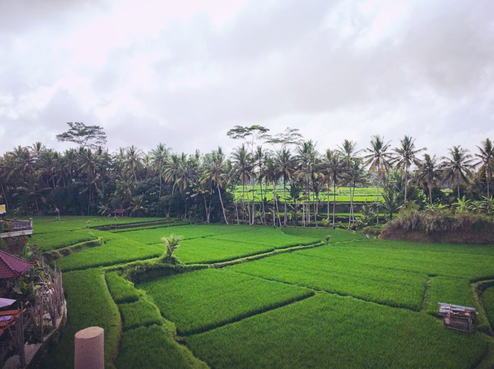 Cloudy Balinese rice fields in October.